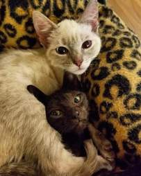 Bonded foster cats in Florida