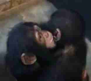 Chimps hugging newly rescued member of the sanctuary