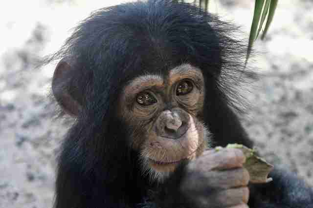 Rescued baby chimp at sanctuary