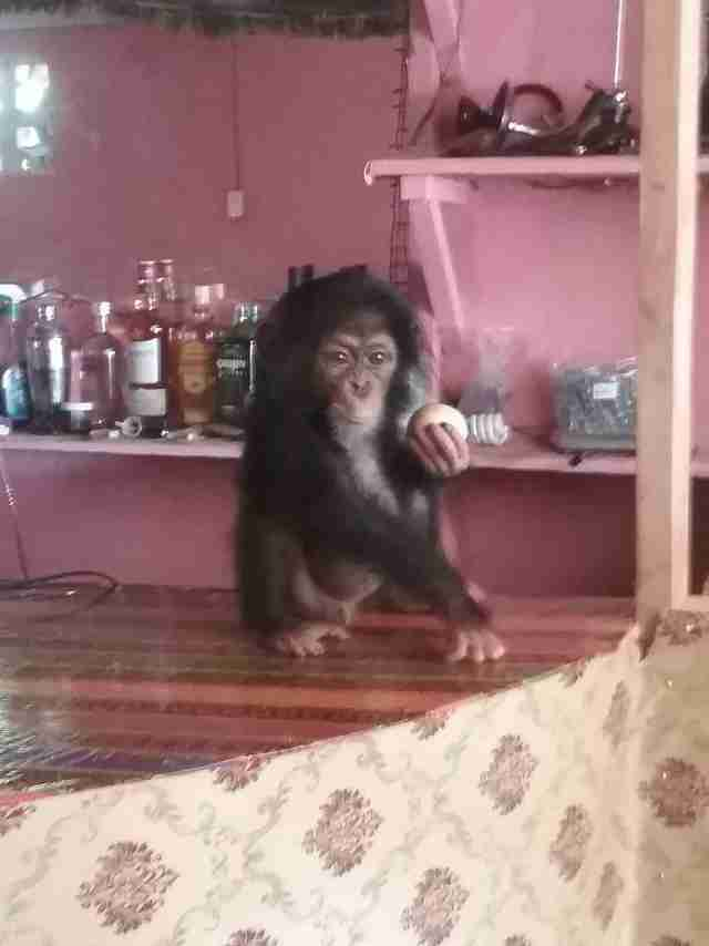 Kidnapped baby chimpanzee living at bar in Liberia