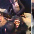 Rescued baby chimps hugging newest friend at sanctuary