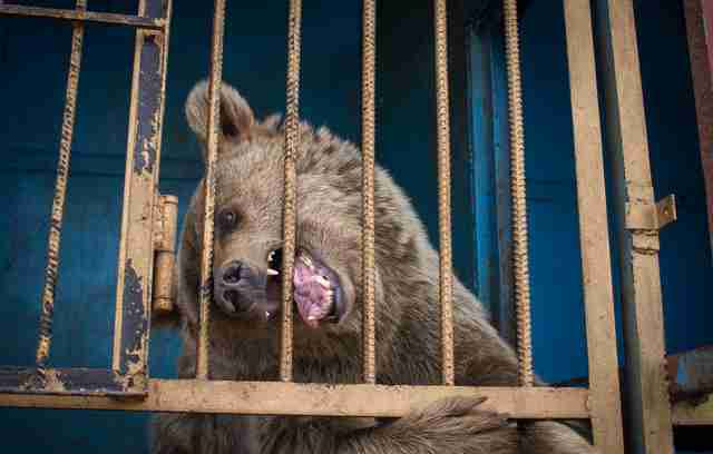 bear rescue armenia