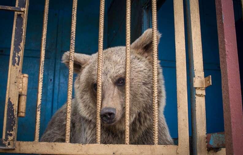 bear rescue armenia