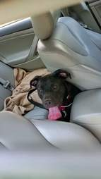 Black lap puppy trapped in hot car