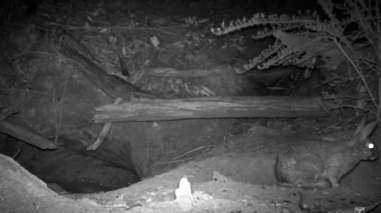 Rabbit near wombat burrow in Australia