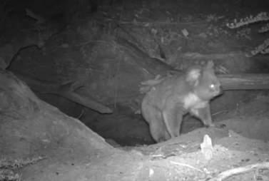 Koala emerging from nest
