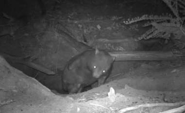 Wombat coming out of his burrow