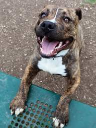 Takis the abandoned pit bull looks for a home