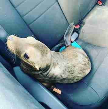 Sea lion in the back of patrol car