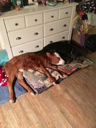rescue baby cow loves dog beds