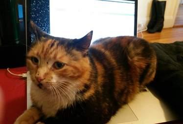 Rescue cat Mochi on a laptop