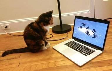 Rescue cat Mochi watching a laptop