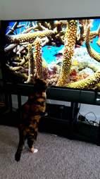 Rescue cat Mochi watching TV