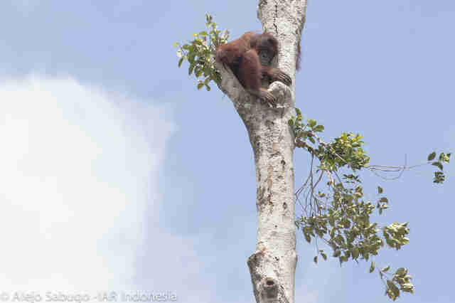Orangutan clinging to last standing tree after forest was cut down