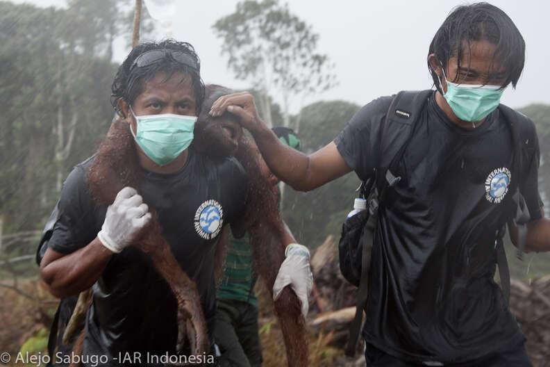 People carrying orangutan
