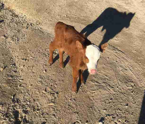 baby calf tulip rescued