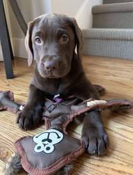 Remy the chocolate Lab plays with her toy
