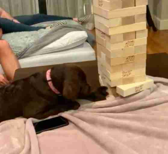 Dog plays Jenga