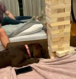 Remy the Lab puppy plays Jenga