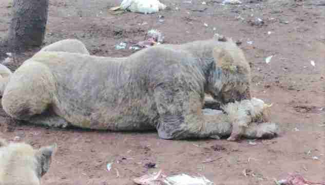 Sick lions at captive breeding facility in South Africa