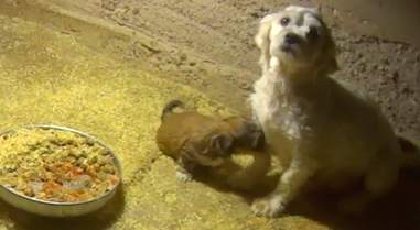 Mother dog nursing puppy in commercial breeding facility