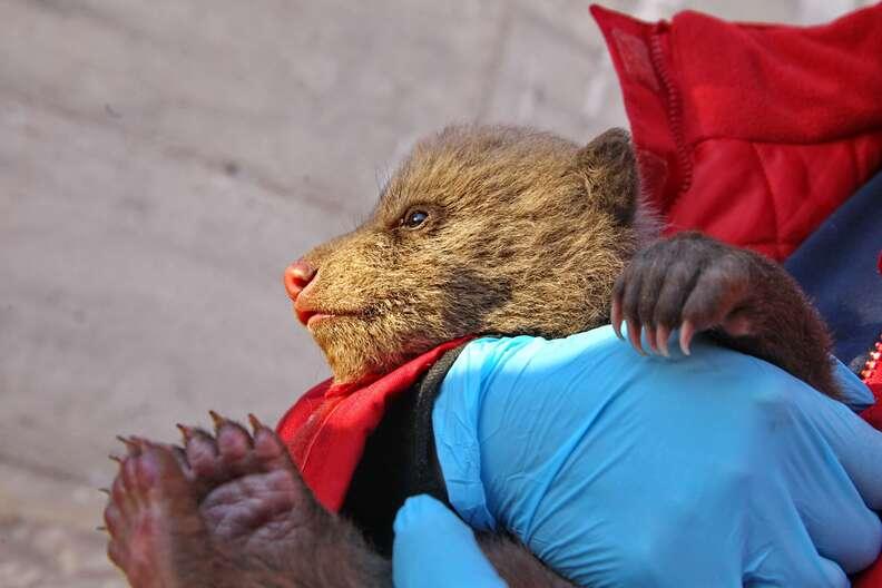 Bear cub mistaken for stray puppy in Kosovo