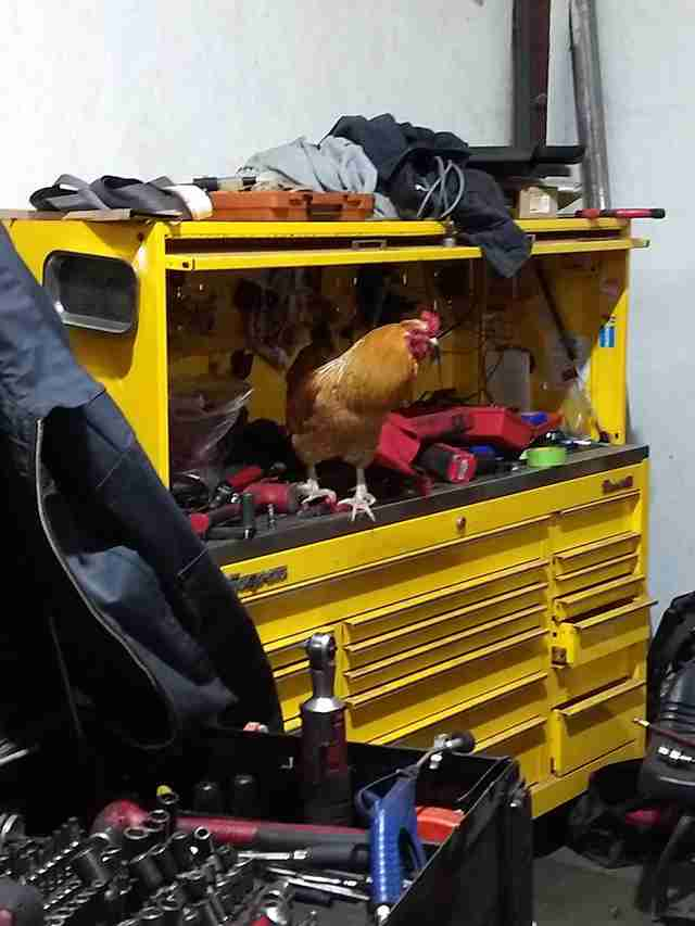 rooster works in autoshop