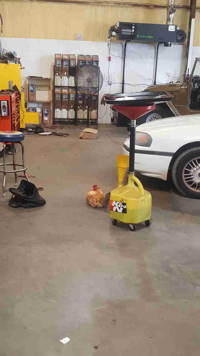 rooster works at autoshop