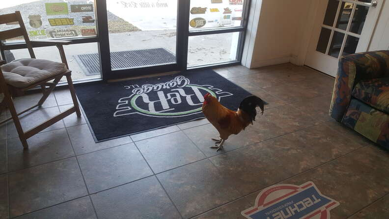 rooster works at autoshop now