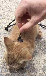 kitten tied up with shoelaces