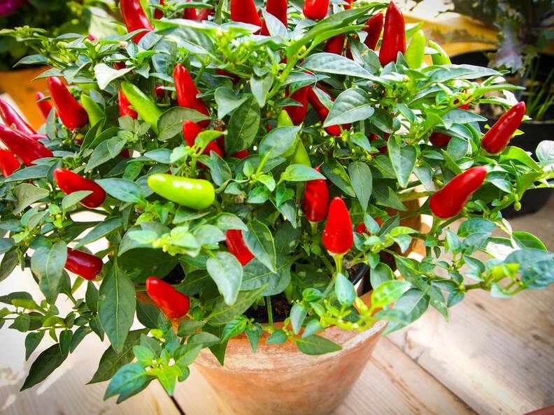 tobasco peppers