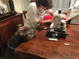 Pit bull dog anxiously awaits his pillow's repair