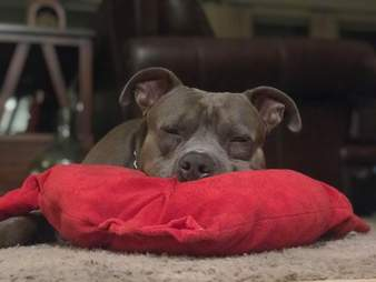 Pit bull sleeps with his heart pillow every night