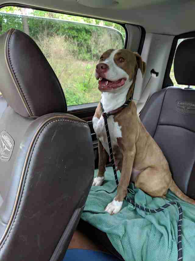 Foster pit bull on freedom ride out of shelter