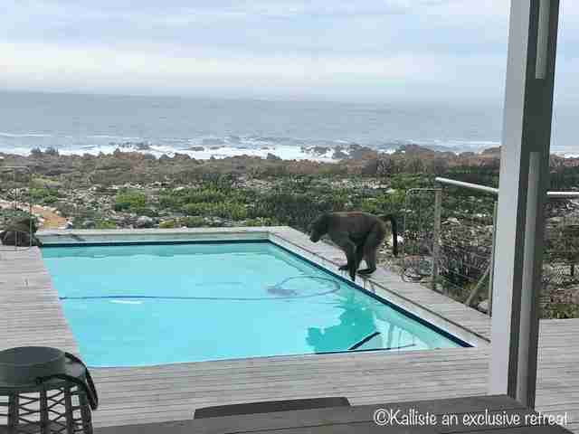 Wild Baboons Drop By Guy's House To Party In His Pool