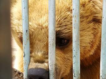 Bear trapped in restaurant parking lot in Armenia