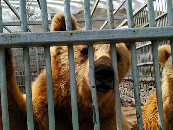 Bears trapped in corner of restaurant parking lot