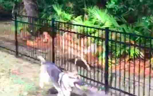 Rescue dog playing tag with wild deer in Florida man's backyard