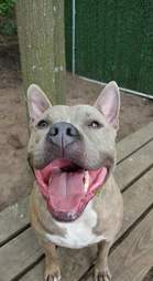 pit bull in shelter for 981 days