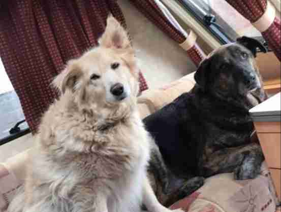 Heartbroken Dog Won't Stop Cuddling Pillow Of His Brother Who Passed Away