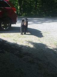 bears steal car