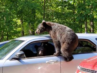 bears try to steal car
