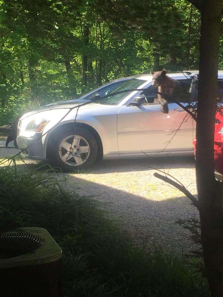 bears steal car