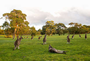 Anyway, Here's a Golf Course in Australia With 300 Resident Kangaroos