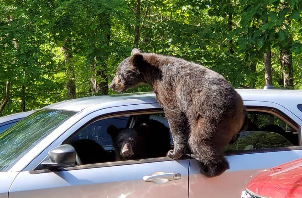 Family of Bears Climb Into Man's Car, Try to Drive It