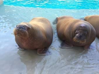 walrus apollo death