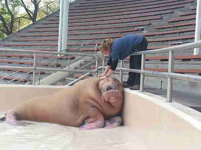 Another Walrus Dies Suddenly At Controversial Marine Park