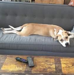 adoptable pit bull