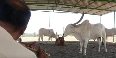 cow concert animal rahat india