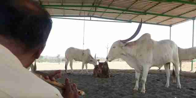 cow concert animal rahat india